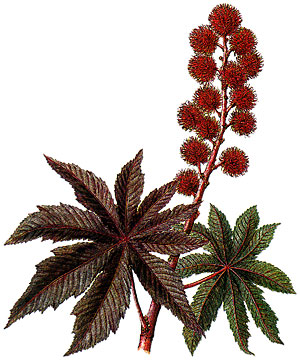 Naturkosmetik - Rizinus - Kosmetik aus dem Garten